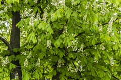 A luz - folhas verdes da mola Foto de Stock