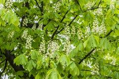 A luz - folhas verdes da mola Fotos de Stock Royalty Free