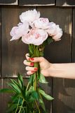 Luz fresca bonita - as peônias cor-de-rosa guardam pela fêmea com tratamento de mãos vermelho imagem de stock royalty free