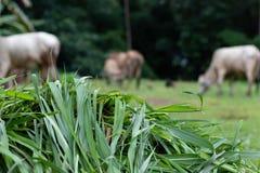 Luz fresca da grama - verde para vacas imagem de stock