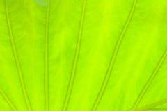 Luz - fundo verde da natureza do sumário da folha Fotografia de Stock