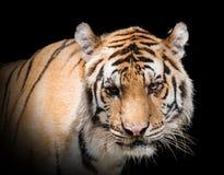 Luz hermosa negra de tierra del fondo A del tigre feroz Imágenes de archivo libres de regalías