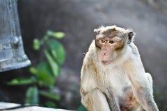 Luz - macaco marrom Foto de Stock Royalty Free