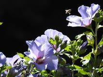 Luz muy hermosa en una dedalera púrpura y un hibisco azul con una abeja Foto de archivo