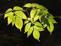 Luz muy hermosa a través de las hojas de la ceniza en del otoño Fotos de archivo