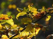 Luz muy hermosa a través de las hojas de la haya en otoño Fotografía de archivo