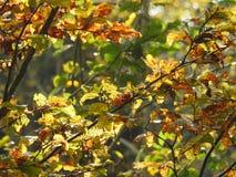 Luz muy hermosa a través de las hojas de la haya en otoño Fotos de archivo libres de regalías