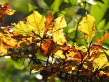 Luz muy hermosa a través de las hojas de la haya en otoño Foto de archivo
