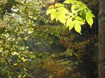 Luz muy hermosa a través de las hojas de las hojas de la ceniza en otoño Fotos de archivo