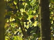 Luz muy hermosa a través de las hojas del avellano en otoño Imagenes de archivo