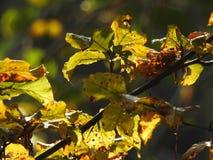 Luz muy hermosa a través de las hojas del avellano en otoño Imagen de archivo libre de regalías