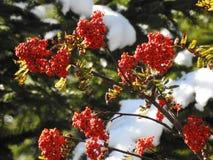 Luz muy hermosa a través de las hojas del serbal de pájaros en otoño Fotografía de archivo libre de regalías