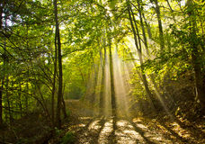 Luz na floresta Fotos de Stock Royalty Free