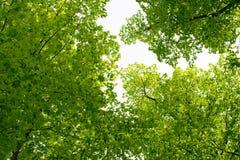 Luz nova - folhas verdes da mola Imagens de Stock