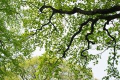Luz nova - folhas verdes da mola Fotografia de Stock