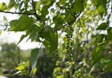 Luz nova - folhas verdes da mola Imagem de Stock Royalty Free