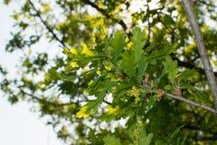 Luz nova - folhas verdes da mola Foto de Stock Royalty Free