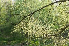 Luz nova - folhas verdes da mola Imagem de Stock