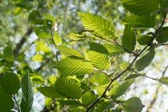 Luz nova - folhas verdes da mola Fotografia de Stock Royalty Free