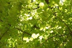 Luz nova - folhas verdes da mola Foto de Stock