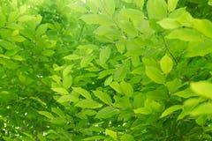 Luz nova - folhas verdes da mola Fotos de Stock Royalty Free