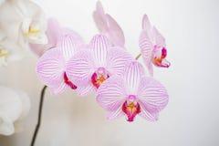Luz - orquídea bonita cor-de-rosa imagem de stock royalty free