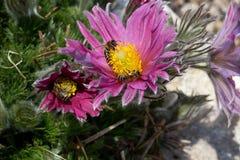 Luz - pasque de florescência roxo com abelhas Foto de Stock Royalty Free