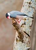 Luz pequena dos pássaros - azul Imagens de Stock