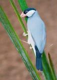 Luz pequena dos pássaros - azul Foto de Stock Royalty Free