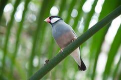 Luz pequena dos pássaros - azul Fotos de Stock Royalty Free