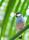 Luz pequena dos pássaros - azul Imagem de Stock Royalty Free