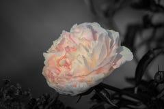 Luz - rosa e flor do creme imagens de stock royalty free