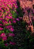 Luz roxa da borda da flor na sombra Imagens de Stock Royalty Free