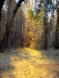 Luz solar através da floresta Fotos de Stock Royalty Free