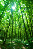 Luz solar através da floresta Imagem de Stock