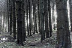 Luz solar através das árvores assustadores Fotografia de Stock Royalty Free