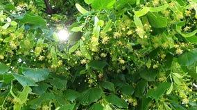 Luz solar através das folhas verdes da árvore Raias bonitas do sol Árvore de Linden com flores de florescência filme