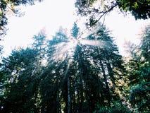 Luz solar através das madeiras vermelhas Imagens de Stock