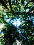 Luz solar através das madeiras vermelhas Imagem de Stock