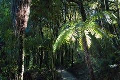 Luz solar através de um dossel de floresta que leve acima de uma árvore da samambaia imagens de stock