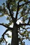 Luz solar através dos ramos de um cedro Imagens de Stock