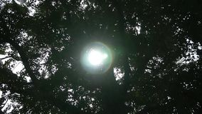 A luz solar através dos ramos do tronco de árvore da nogueira-do-Japão sae video estoque
