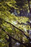 A luz solar brilha entre as folhas na floresta Fotografia de Stock Royalty Free