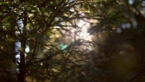 Luz solar com o close-up do pinheiro em Autumn Forest 4K, Slowmotion vídeos de arquivo