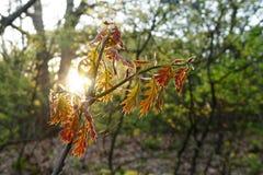 Luz solar da manhã através das folhas do carvalho da mola Imagem de Stock Royalty Free