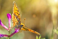 A luz solar da mola do ramo da flor brilha na borboleta do frameorange com os pontos pretos que sentam-se em uma flor imagens de stock royalty free