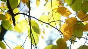 Luz solar das folhas de outono video estoque