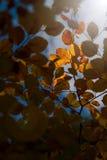 Luz solar dourada surpreendente nas folhas de outono amarelas da árvore de faia Imagem de Stock