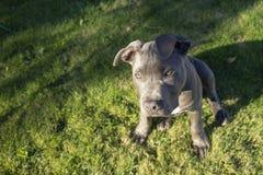 A luz solar dramática do fim da tarde bate um olho Pit Bull Puppy foto de stock royalty free