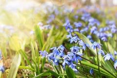 Luz solar e raios na primeira flor do azul na mola Foto de Stock